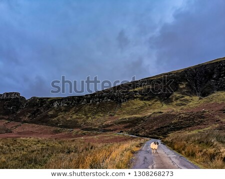 solitário · ovelha · escócia · verde · campos - foto stock © danielbarquero