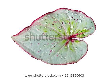 Green leaf Wasser Wald Design Blatt Hintergrund Stock foto © nuiiko