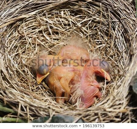 Close-Up Of Just Hatched Robin Chicks Stock photo © saddako2