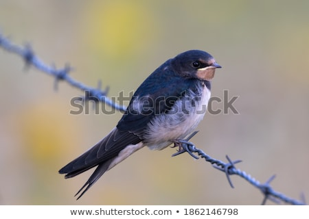 Swallow fence sitting Stock photo © ottoduplessis