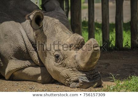 young white rhino stock photo © jfjacobsz
