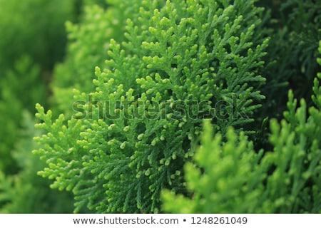 Arborvitae leaves background Stock photo © ozgur