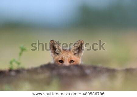 meraklı · küçük · tilki · san · juan - stok fotoğraf © jeffmcgraw