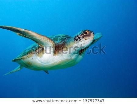 海 カメ スイミング 水中 ザキントス ギリシャ ストックフォト © sirylok