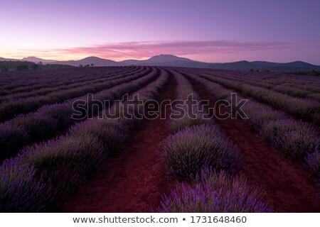 Fioletowy lawendowe pole dziedzinie lawendy roślin Zdjęcia stock © roboriginal
