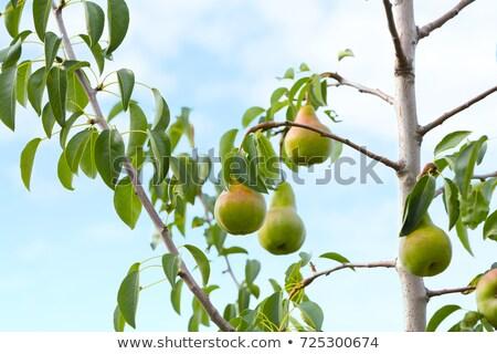 maturo · pera · ramo · pere · albero - foto d'archivio © Makse
