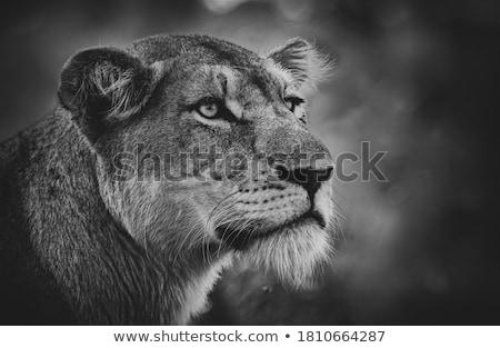 Oldal profil oroszlán feketefehér park Dél-Afrika Stock fotó © simoneeman