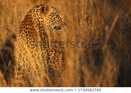 A Leopard looking back in the Kruger. Stock photo © simoneeman