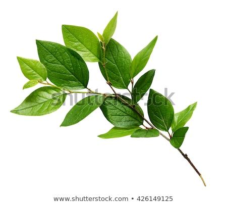 zöld · tavasz · levelek · izolált · fehér · fa - stock fotó © tetkoren