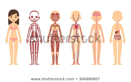 body systems of human girl stock photo © bluering