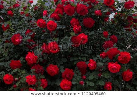 Rózsaszín rózsák bokor kert stock fotó Stock fotó © nalinratphi