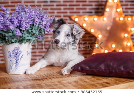 ボーダーコリー ヶ月 古い 赤ちゃん 犬 黒 ストックフォト © M-studio