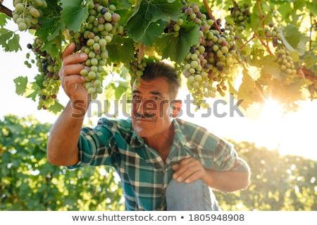 szőlő · aratás · jóképű · mosolyog · szakállas · vág - stock fotó © wavebreak_media