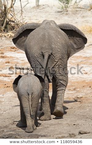 Stock fotó: Anya · baba · elefánt · sétál · messze · kamera