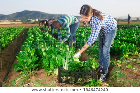 farm worker holds spinach Stock photo © IS2