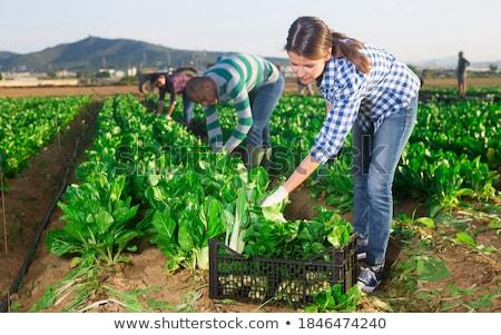 Boerderij werknemer spinazie vrouw leuk portret Stockfoto © IS2