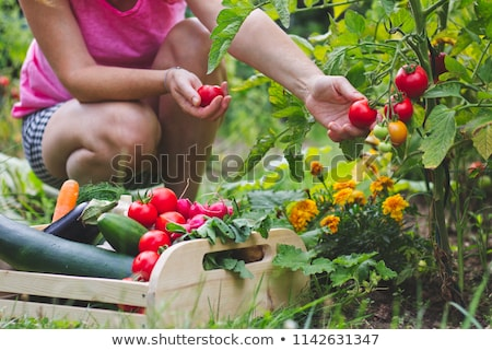 Rijp courgette organisch plantaardige tuin ochtend Stockfoto © stevanovicigor