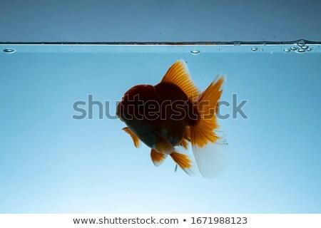 Grasso pesce acquario marine animale grande Foto d'archivio © popaukropa