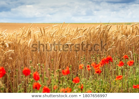 野の花 麦畑 春 草 風景 庭園 ストックフォト © inaquim