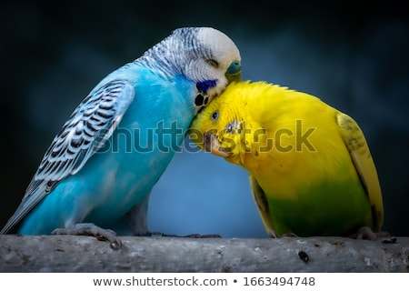 Bird Budgie Branch Perch Stock photo © lenm
