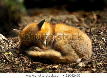 rot · Fuchs · Sitzung · Gras · schauen - stock foto © cynoclub