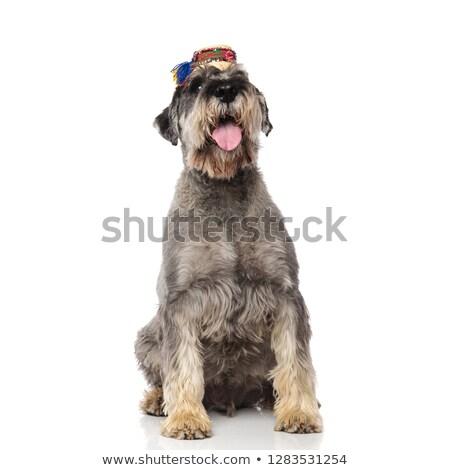 Adorável cinza schnauzer chapéu de palha Foto stock © feedough