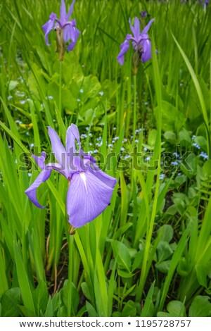 Iris · fiore · viola · bianco · giardino · verde - foto d'archivio © daboost