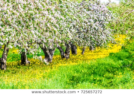 A Apple orchard with many blooming trees with white and pink flowers during summer Photo stock © Lopolo