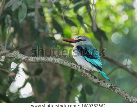 Woodland kingfisher sitting on a branch. stock photo © simoneeman