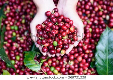 コーヒー豆 · ツリー · 生 · 食品 · コーヒー · 葉 - ストックフォト © galitskaya