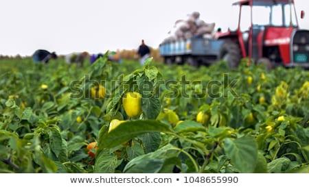 Ernte Menschen Bereich Zugmaschine Gemüse Mann Stock foto © robuart