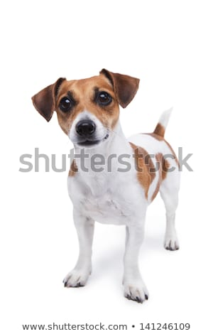 Stúdiófelvétel imádnivaló jack russell terrier szépség egyedül fül Stock fotó © vauvau