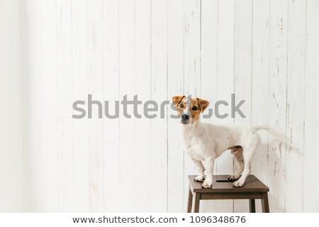 Odizolowany shot cute jack russell terrier psa krzesło Zdjęcia stock © vkstudio