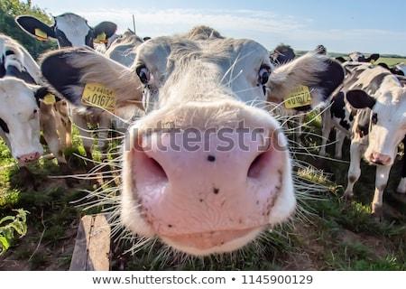 Bárány portré széles látószögű verseny kiállítás szem Stock fotó © cienpies