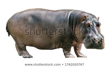 Nijlpaard shot groot zoogdier plantenetend Stockfoto © macropixel