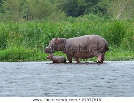 Hippo Calf And Cow Waterside In Uganda Photo stock © PRILL