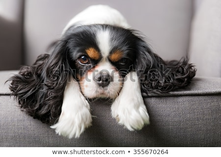 cavalier king charles spaniel puppy stock photo © eriklam