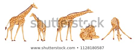 resting Giraffes in Africa Stock photo © prill