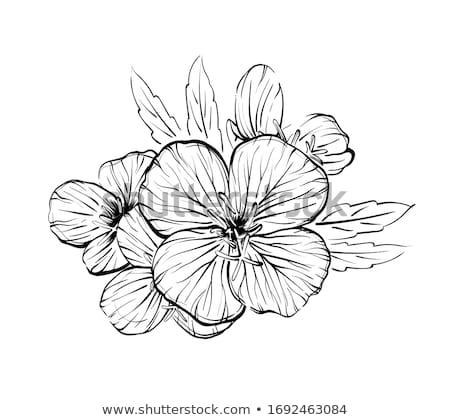 Ilustração prímula flor natureza beleza arte Foto stock © perysty