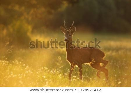 ikra · szarvas · vadászat · trófea · fehér · izolált - stock fotó © taviphoto