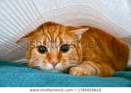 Shy Cat Stock photo © tepic