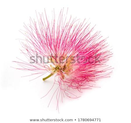 シルク · ツリー · 咲く · クローズアップ · ピンク · 花 - ストックフォト © zhukow