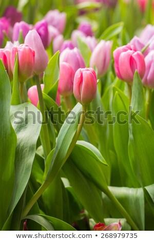 赤 チューリップ 自然光 花束 ルーム 葉 ストックフォト © hakfin