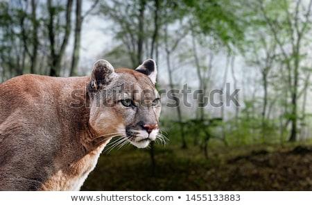Amerikan puma puma Amerika kaya Stok fotoğraf © billperry