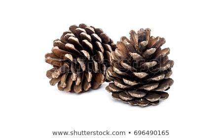 Pine plant kegel geïsoleerd groene Stockfoto © stocker