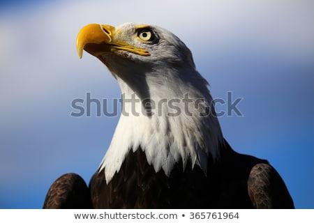 Kopasz sas néz szemek néz természet Stock fotó © Anterovium