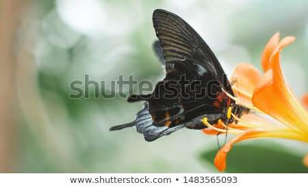 Orange Yellow and Black Butterfly on a Leaf Stock photo © rhamm