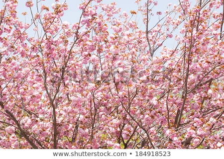 Booming double cherry blossom branches in the blue sky Stock photo © shihina