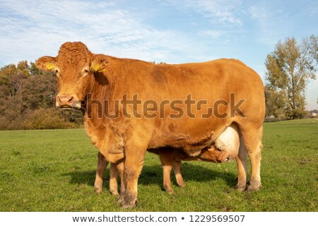 Cow and her calf stock photo © ottoduplessis