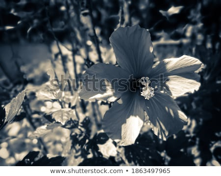 shoe flower or hibiscus vintage stock photo © sweetcrisis
